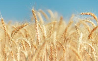 Conformación de la mesa de trigo dentro del PACN
